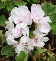 Cotta Lilac Queen