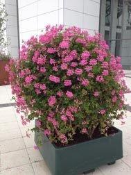 Decora Cascade Lilac (9 plug plants)