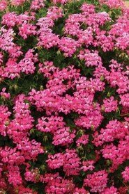 Decora Cascade Pink (9 plug plants)