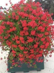 Decora Cascade Red (9 plug plants)