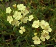 D. Knappii Yellow Harmony  (SPECIES)