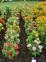 Zinnia Collection  (10 plants)