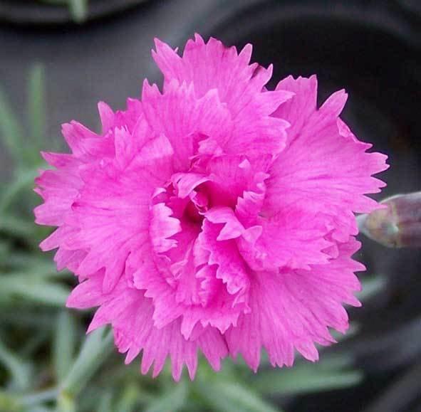Whatfield Fuchsia (1999)
