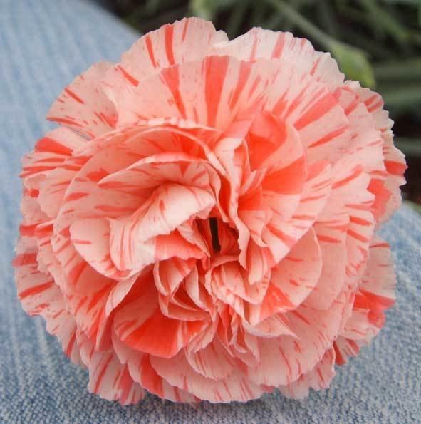 Fleur (1971)
