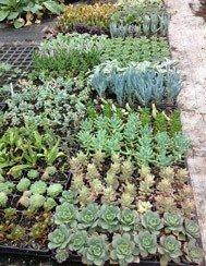 Succulent Collection (6 plants)