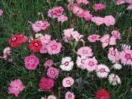 Fragrant Village Pinks (5 plants)
