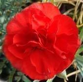 Graces Scarlet Clove (2005)