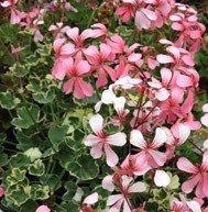 Rose Silver Cascade