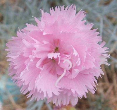Rose De Mai (1820s)