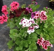 Lucky Dip Special Offer (6 plants, our choice)