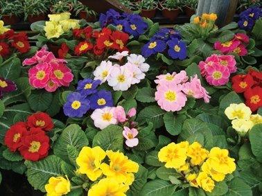 Primula Collection (10 plants)