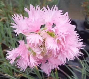 Pink Mrs Sinkins