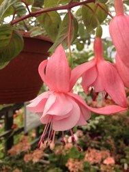Pink Galore (Trailing)