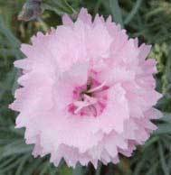 Pikes Pink (Pre 1965)