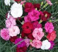 Long Flowering Collection  (10 plants)