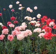 Malmaison Collection (5 plants)