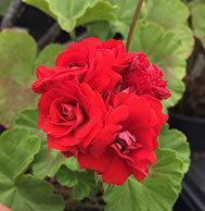 Scarlet Rambler (1870)