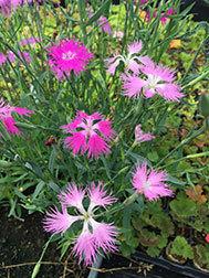 D. Superbus (8 plants)