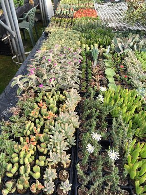 Lucky Dip Succulent Pack (12 Plugs)