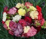 Garden Carnation Collection (10 plants)