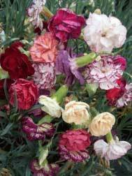 Garden Carnation Collection (5 plants)