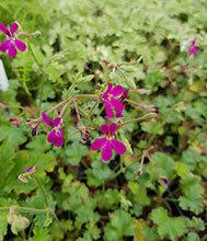 Deerwood Lavender Lad