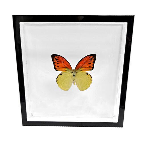 "08 - 8""x8"" Black Trim Medium Butterfly"