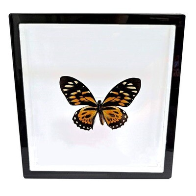 """08 - 8""""x8"""" Black Trim Large Butterfly"""