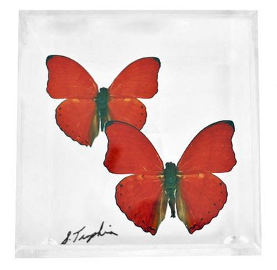 """02 - 4"""" X 4"""" Square Butterfly Display With Two Butterflies"""