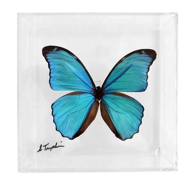 """03 - 6"""" X 6"""" Square or Diamond Butterfly Display With Large Butterfly"""