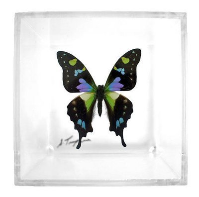 """01 - 4"""" X 4"""" Square Butterfly Display With One Butterfly"""
