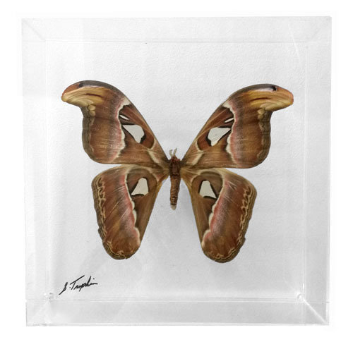 "13 - 10"" x 10"" Moth"