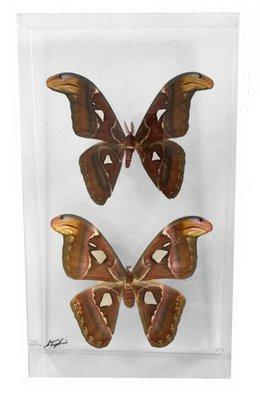 "16 - 10"" X 17"" Double Moth Display"