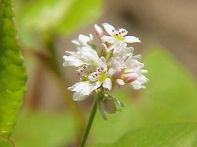 Buckwheat Seed 50#