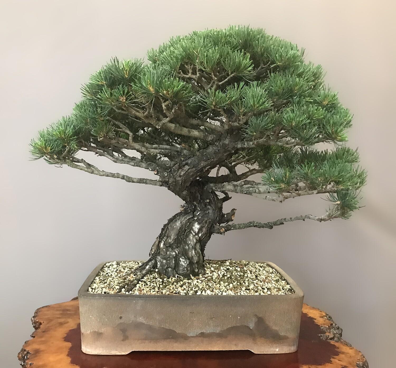 Imported White Pine Bonsai