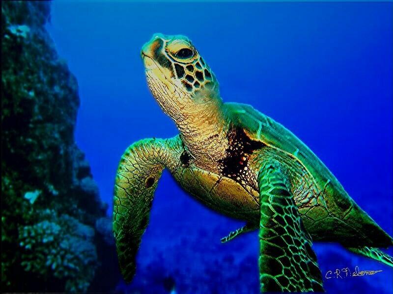 Adopt A Green Sea Turtle