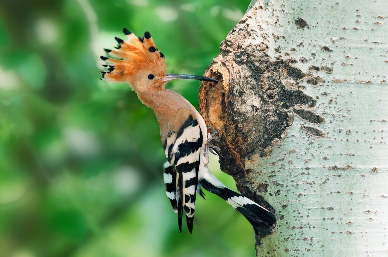 Adopt A Woodpecker