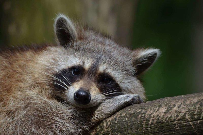 Adopt A Raccoon