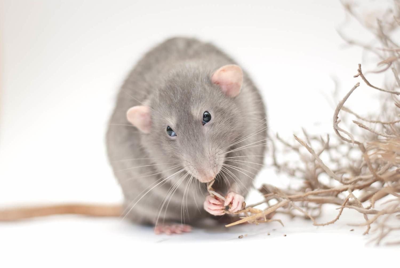 Adopt A Rat