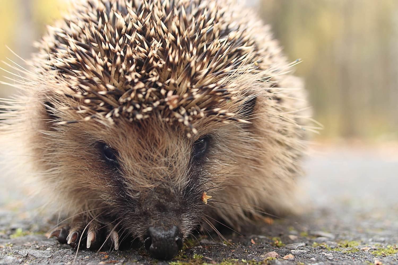 Adopt A Porcupine