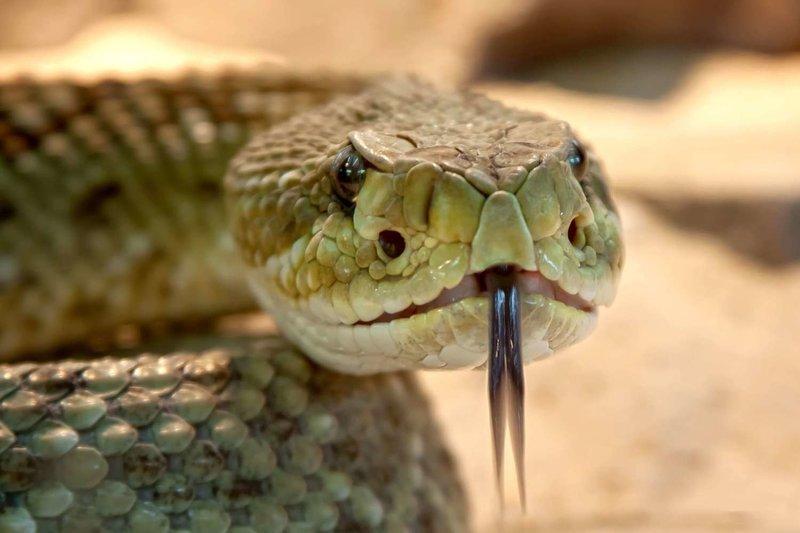 Adopt A Rattlesnake