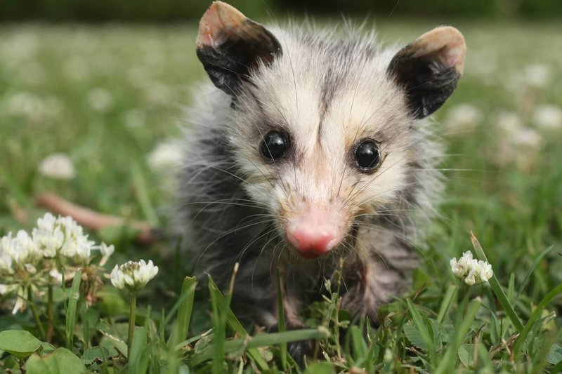 Adopt An Opossum