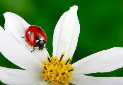 Adopt A Ladybug