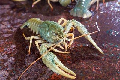 Adopt A Lobster
