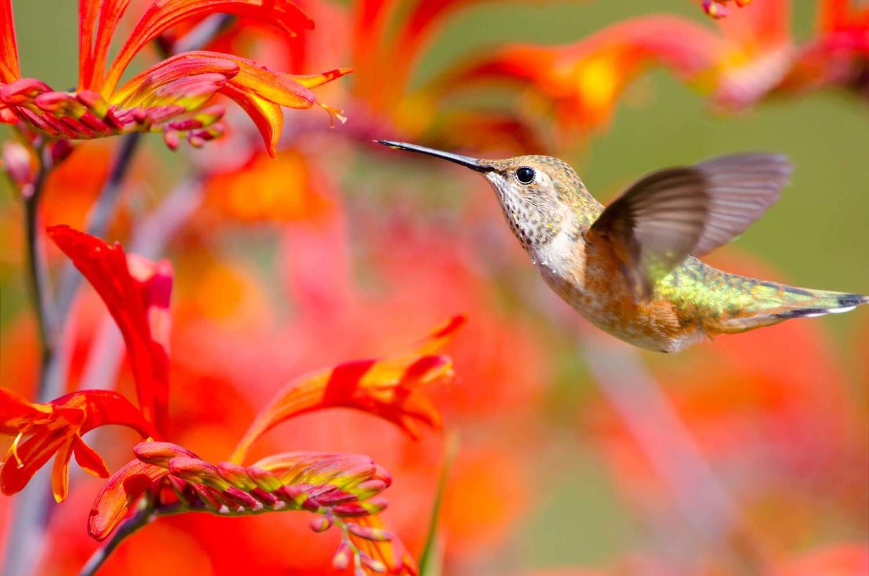 Adopt A Hummingbird