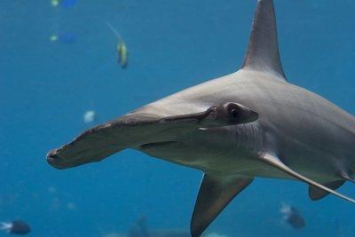 Adopt A Hammerhead Shark