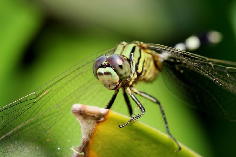 Adopt A Dragonfly