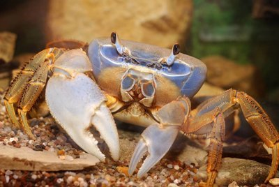Adopt A Crab