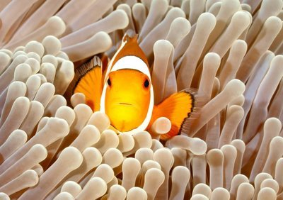 Adopt A Clownfish