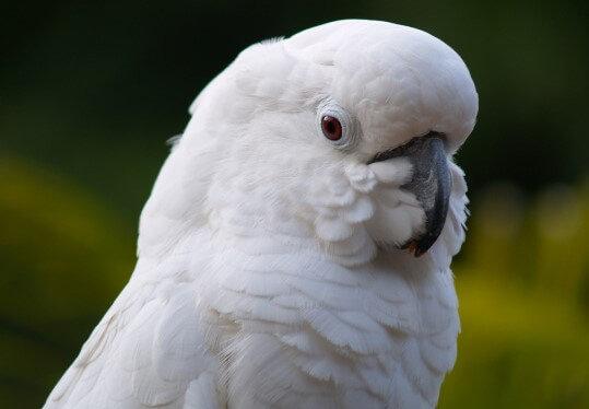 Adopt A Cockatoo